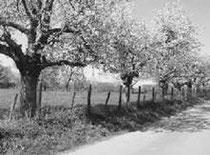 alte Kirschbäume / Foto: O. Gellißen