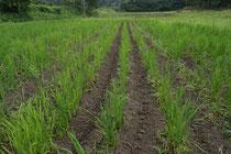読んで字のごとく、陸稲は畑で作る稲です