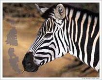 Zebra-Pastell