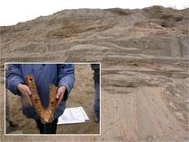 Die Mosbacher Sande im Dyckerhoff-Steinbruch mit dem Fund eines Nashorn-Unterkiefers (Fotos: Norbert Henkel)