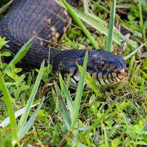 Water moccasin or banded water snake? Don't get close enough to tell the difference. - photo by Tess Ippolito