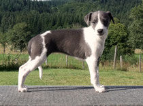 Chiot whippet bicolore bleu