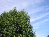 ▲すずかけの木