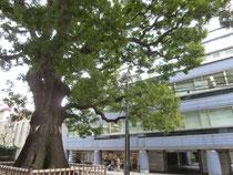 樹齢600年 樹高20m 幹周8.4m
