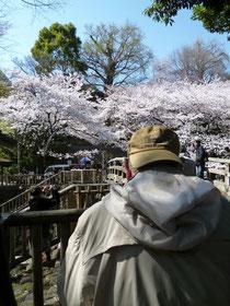 桜とイチョウを狙います
