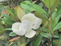 泰山木の花が咲きました!よい香り‥‥♡