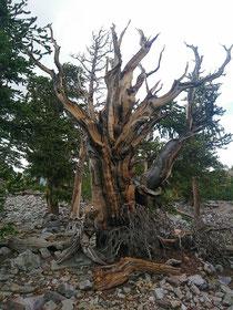 Die bis zu 5.000 Jahre alten Bristlecone Pines sind die ältesten Lebewesen der Welt.