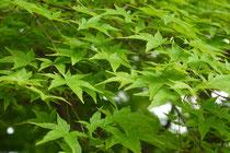 イロハモミジ (Acer palmatum)