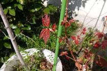 ホソエカエデ(Acer capillipes)