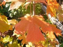 サトウカエデ (Acer saccharum)