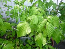 ネグンドカエデ (Acer negundo)