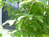 Acer nikoense メグスリノキ