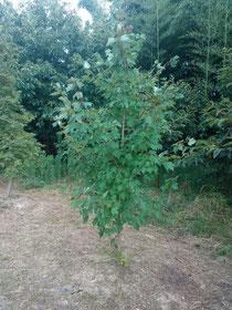 アメリカハナノキ (Acer rubrum)