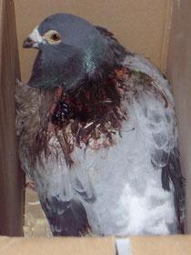 8 Jähriger Zuchtvogel.