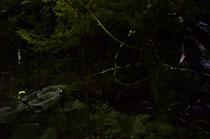エバーグリーンガーデンビオトープで育つホタルページへ移動します