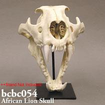 アフリカライオン頭蓋骨模型BCBC054