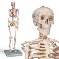 小型全身骨格模型A18ショーティー