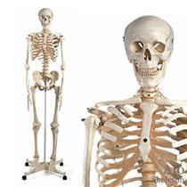 全身骨格模型 A10スタン