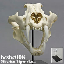 アムールトラ頭蓋骨標本レプリカ