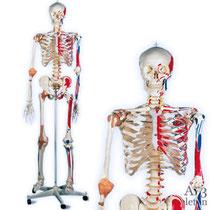 全身骨格模型 サム A13