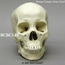 頭蓋骨模型BCBC149