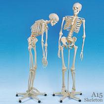 全身骨格模型 A15フレッド