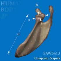 代替試験用複合材料骨コンポジットボーン・肩甲骨