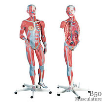 B50筋肉解剖模型