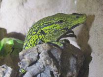 Weibchen nach der Eiablage