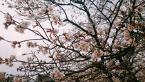 長岡市の桜🌸法事にて