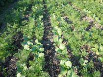 人参とチンゲン菜の混植栽培
