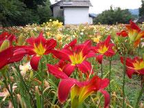 2013年・花盛りのヘメロカリス園