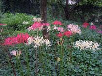 実生花が次々と花を開く