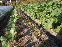 アスパラ菜(左)、サニーレタス(中央)、三陸つぼみ菜