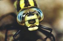 Augen Grosslibelle
