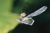 Kleinlibelle Opfer von Spinne
