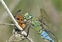 Grosslibelle frisst Schmetterling