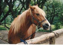 Masha als Schulpferd 1993