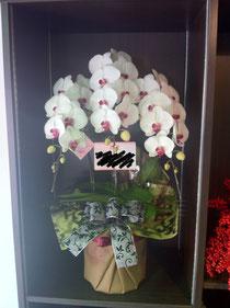 胡蝶蘭16,200円