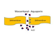 Wasserkanäle der Zellmembran