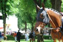 Renn-Pferd mit Scheu-Klappen