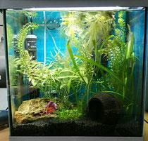Ein Kampffisch Becken