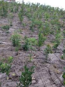 岩沼市管轄で植栽した苗。藁が敷き詰めてあるのは保温性のため。