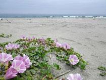 被災後の浜で咲くハマヒルガオ