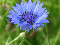 Kornblume (Centaurea)