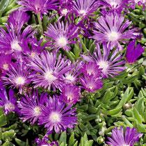 Mittagsblume (Dorotheanthus)