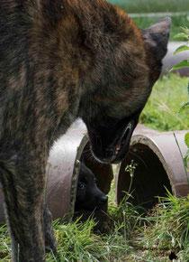 Faido wil graag spelen, pup zoekt liever de bescherming op.