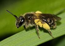 http://cdn.fotocommunity.com/images/Bienen-Wespen-Ameisen/Bienen-incl-Hummeln/Wildbiene-unter-1cm-a24500302.jpg