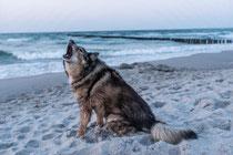 Hund am Strand der bellt