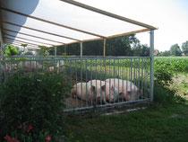 Mastschweine im Freiluftstall.